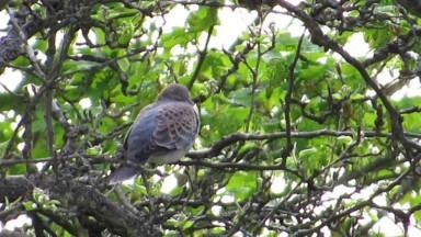 Rufous Turtle Dove (meena) Otford Kent 3rd May 2016