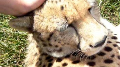 The best cat in the world.. Cheetah Purring